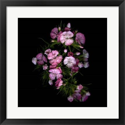 Framed Sweet William 1 Print