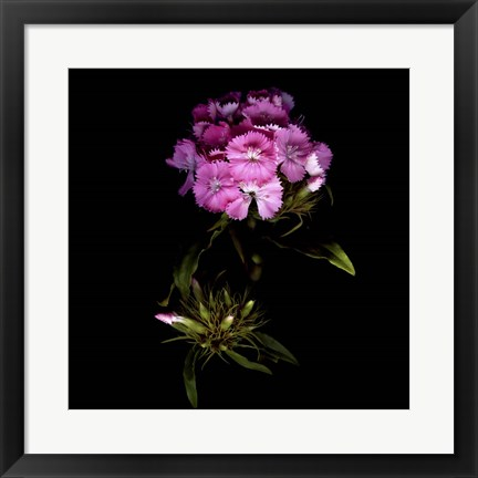 Framed Sweet William Flowerworks Print