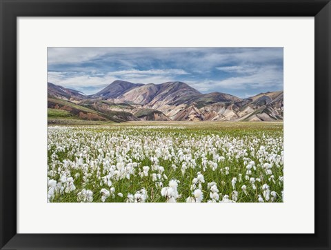 Framed Cotton Grass Print