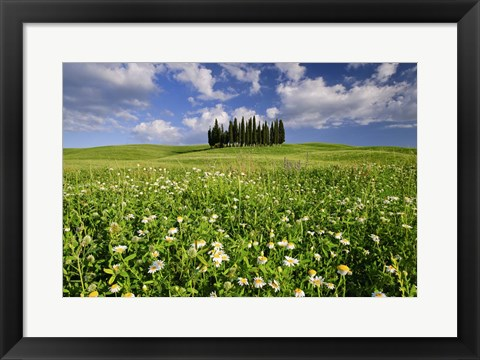 Framed Daisies on Cypress Hill Print
