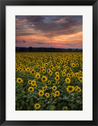 Framed Sunflowers to the Sky Print