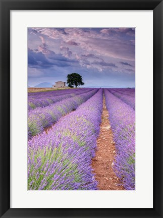 Framed Rows Of Lavender Print