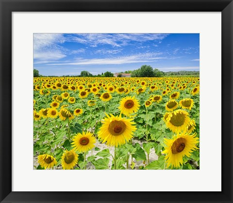 Framed Field of Yellow Print