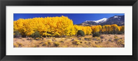 Framed Golden Aspen Trees, Colorado Print