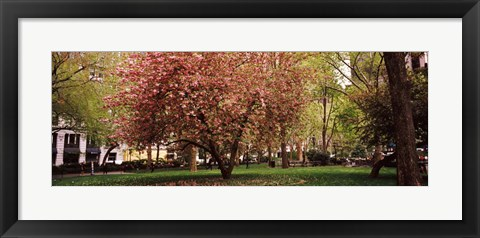 Framed Cherry blossom in  Madison Square Park, New York Print