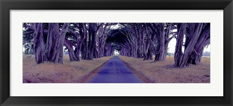 Framed Monterey Cypress Trees, Point Reyes, California Print