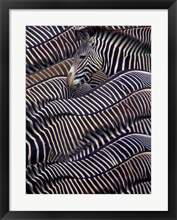 Framed Zebras in Samburu National Reserve, Kenya Print