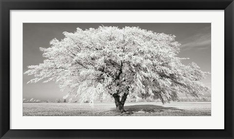 Framed Lime Tree with Frost, Bavaria, Germany Print