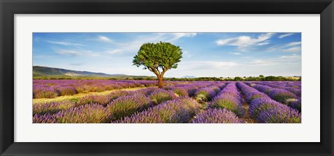 Framed Lavender Field And Almond Tree, Provence, France Print