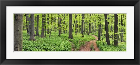 Framed Beech Forest, Germany Print