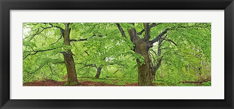 Framed European Beech, Kellerwald, Germany Print
