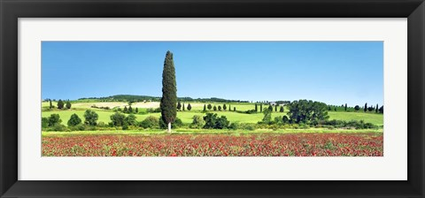 Framed Cypress In Poppy Field, Tuscany, Italy Print