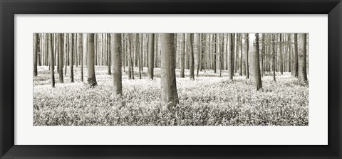 Framed Beech Forest With Bluebells, Belgium Print