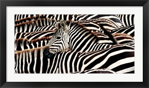 Framed Herd of Zebras Print