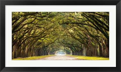 Framed Path Lined with Oak Trees Print