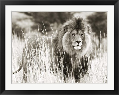 Framed Male Lion Print
