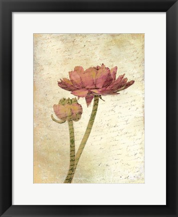 Framed Ranunculus Bloom 1 Print