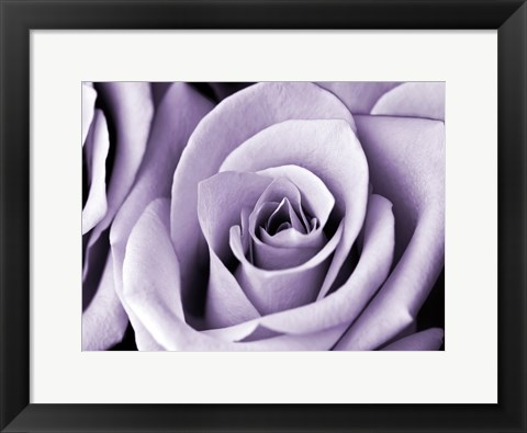 Framed Lavender Rose Print