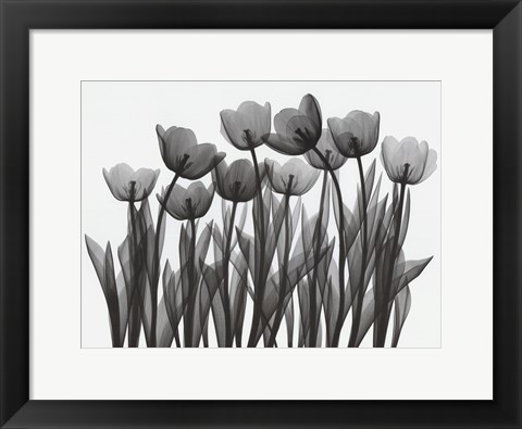 Framed Tulip Exposures Print