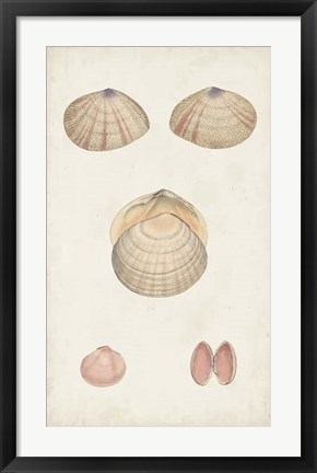 Framed Antiquarian Shell Study V Print