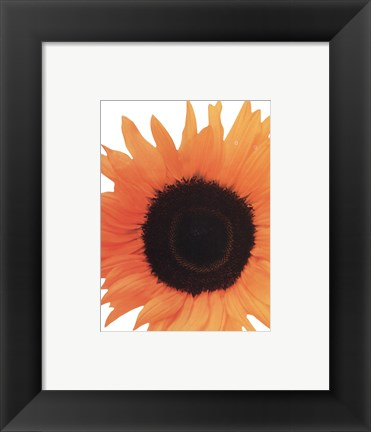 Framed Sunflower In Bloom Print