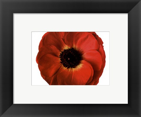 Framed Poppy In Bloom Print