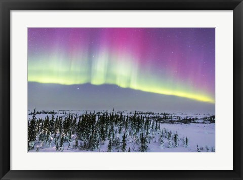 Framed Pink Aurora over boreal forest in Canada Print