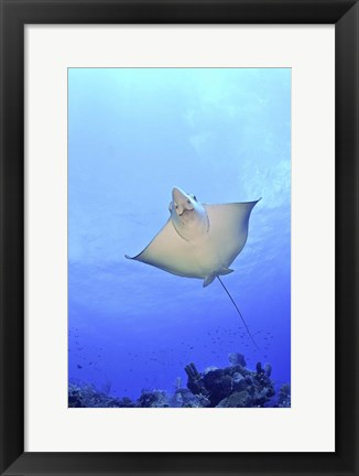 Framed Spotted Eagle Ray Glides over the Wall, Grand Cayman Print