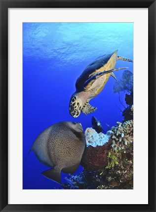 Framed Hawksbill Sea Turtle and Gray Angelfish Print