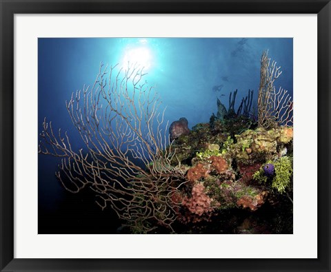 Framed Gorgonian Sea Fans on Cayman's North Wall, Grand Cayman Print
