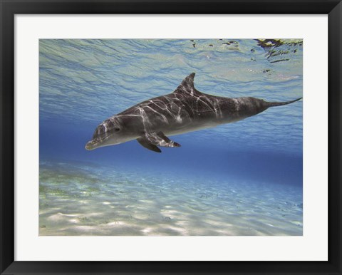 Framed Bottlenose dolphin swimming the Barrier Reef, Grand Cayman Print
