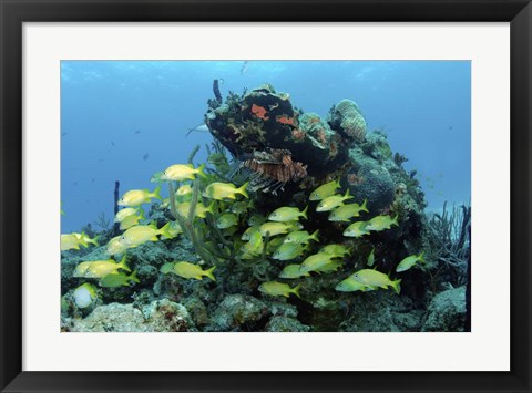 Framed Reefscape with school of striped grunts Print