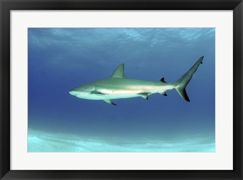 Framed Caribbean reef shark, Nassau, The Bahamas Print
