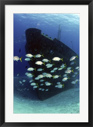 Framed School of horse-eye jack fish swmming by the Ray of Hope shipwreck Print