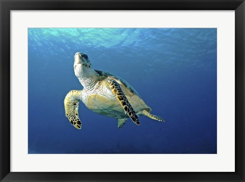 Framed Hawksbill sea turtle ascending, Nassau, The Bahamas Print