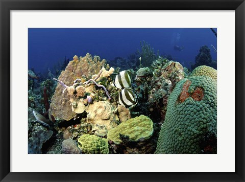 Framed Pair of banded butterflyfish roaming the reef, Nassau, The Bahamas Print
