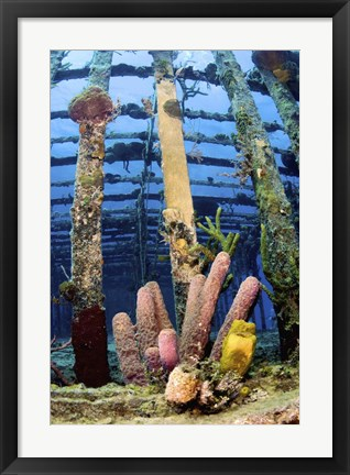 Framed Tube sponges on the Wreck of the Willaurie, Nassau, The Bahamas Print