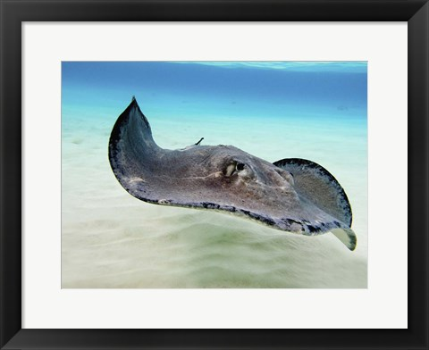Framed Female Southern Atlantic Stingray, Grand Cayman Print