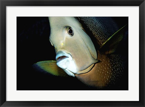 Framed Close-up view of a Gray Angelfish, Grand Cayman Print
