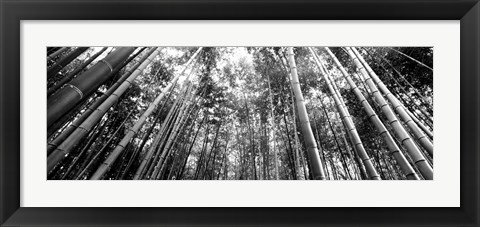 Framed Low angle view of bamboo trees, Arashiyama, Kyoto, Japan Print