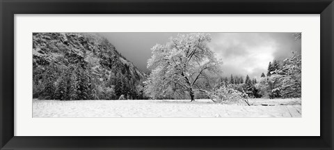 Framed Snow covered oak tree in a valley, Yosemite National Park, California Print