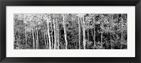 Framed Aspen and Black Hawthorn trees in a forest, Grand Teton National Park, Wyoming Print