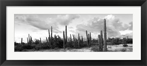 Framed Cardon cactus plants in a forest, Loreto, Baja California Sur, Mexico Print