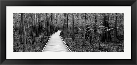 Framed Boardwalk passing through a forest, Congaree National Park, South Carolina Print