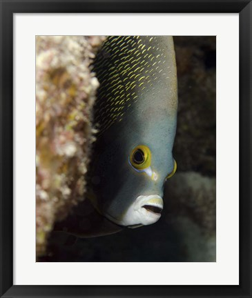 Framed French angelfish, West Palm Beach, Florida Print