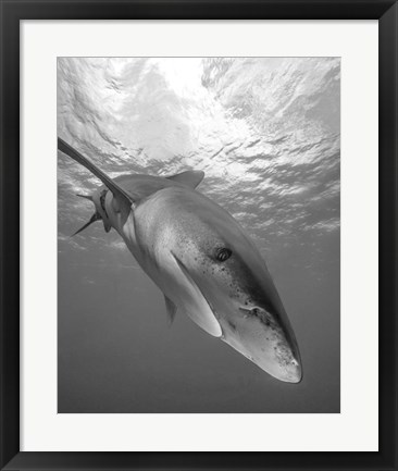 Framed Oceanic Whitetip Shark, Cat Island, Bahamas Print