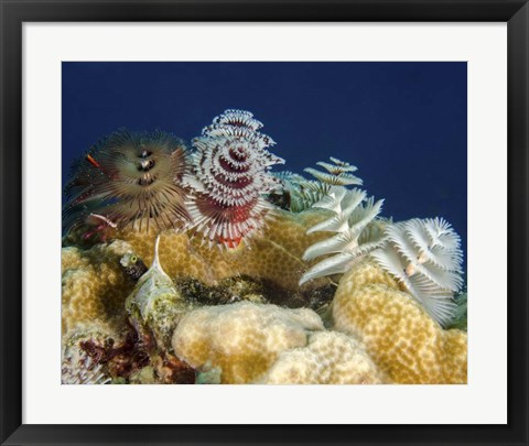 Framed Multiple Christmas Tree worms, Curacao Print