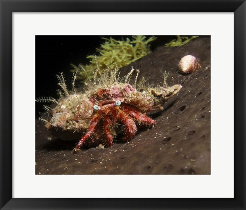 Framed Hermit Crab on sponge in Gulf of Mexico Print