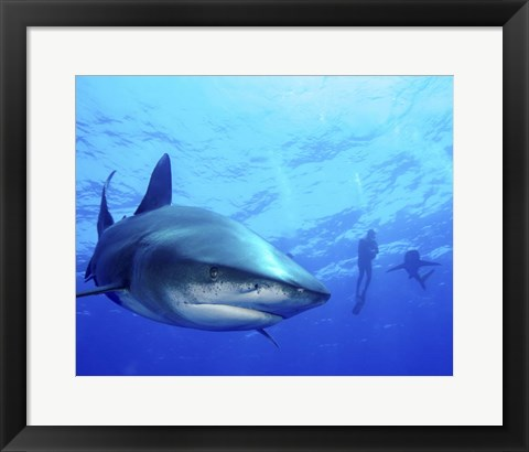 Framed Diver swimming with Oceanic Whitetip Sharks, Cat Island, Bahamas Print