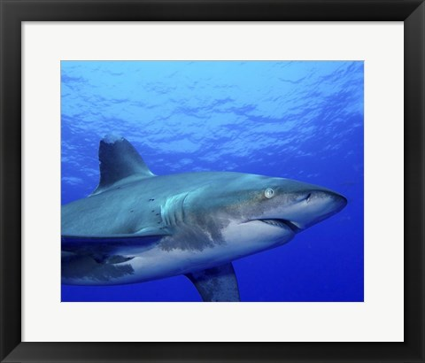 Framed Close-up side view of an Oceanic Whitetip Shark Print